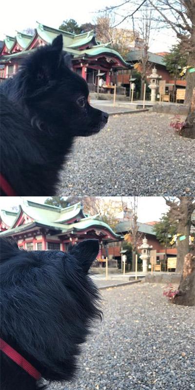 お泊り中のポコちゃんと一緒に市ヶ谷にある市ヶ谷亀岡八幡宮までお散歩しに行きました|新宿区曙橋のペットサロン ぱろ|トリミング・ペットホテル・ペット用品販売
